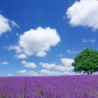 Lavender fields and lone tree — Stock Photo