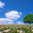 Potato field and lone tree — Stock Photo