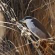 Stock Photo: Black crowned night heron