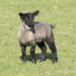Stock Photo: Lamb with black legs
