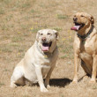 2 labrador bitches — Stock Photo