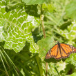 Monarch butterfly resting on a leaf — Stock Photo