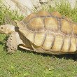 African spiney tortoise - ストック写真