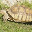 African spiney tortoise - Foto Stock
