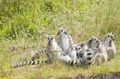 Rodziny lemurów — Zdjęcie stockowe
