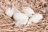 Swans eggs in the nest — Stock Photo