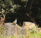 Wildlife in Northern California - Valley Quail — Stock Photo