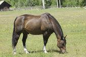 山の牧草地の種馬 — ストック写真
