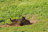 Bison rolling in the dust — Stock Photo