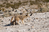 Coyotes in Death Valley — Stock Photo
