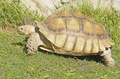 African spiney tortoise — Stock Photo
