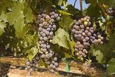 Fresh ripening grapes — Stock Photo