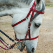 Gray Arabihorse head with english bridle — Stock Photo #11027612