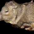 Javelina mount — Stock Photo