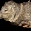 Javelina mount - Stock Photo