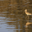 Marbled Godwit , member of the Sandpiper family - Stock Photo