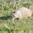 Californian Ground Squirrel closeup — Stock Photo #11031318