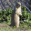 Stock Photo: Californian Ground Squirrel closeup