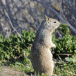 Californian Ground Squirrel closeup — Stock Photo
