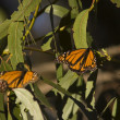 Stock Photo: Monarch butterflies