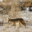 Coyotes in Death Valley - Stock Photo