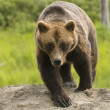Grizzly Bear — Stock Photo #11034528