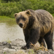 Grizzly bear by stream — Stock Photo