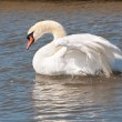 Male mute swan flapping wings — Stock Photo #11034563