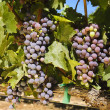 Grapes on the vine - Foto de Stock