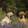 Two labradors in the flowers - Zdjcie stockowe