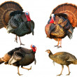 Stock Photo: Several Turkey toms strutting