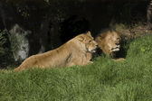 Lions at rest — Stock Photo