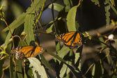 Monarch butterflies — Stock Photo
