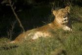 Lionness asleep — Stock Photo