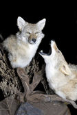 Coyotes howling — Stock Photo