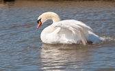 Male mute swan flapping wings — Stock Photo