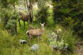Wild red deer in New Zealand — Stock Photo