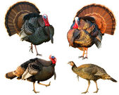 Several Turkey toms strutting — Stock Photo