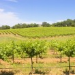 Vinyard - Stock Photo
