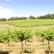 Vineyard — Stock Photo #11114010