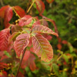 Poison Oak — Stock Photo