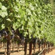 Grape vines — Stock Photo #11114034