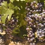 Grapevine in Napa Valley, California — Stock Photo #11114041