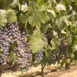 Stock Photo: Grapevine in NapValley, California