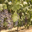 Grapevine in Napa Valley, California — Foto de Stock