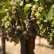 Grapevine in Napa Valley, California - Stock Photo