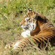 Bengal Tiger resting in the sun — Stock Photo