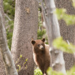 American Black bear in Yosemite national park — Stock Photo