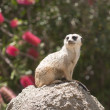 Meerkat sentry — Stock Photo