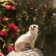 Royalty-Free Stock Photo: Meerkat checking things out